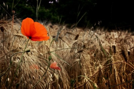 2232306-vintage-picture-of-red-poppies-in-a-barley-field