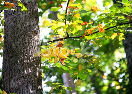 4375526-autumn-leaves-oak-tree-gold-orange