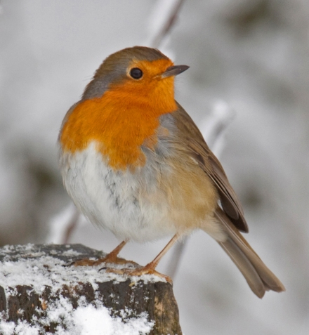 robin_in_the_snow_3_4250400943